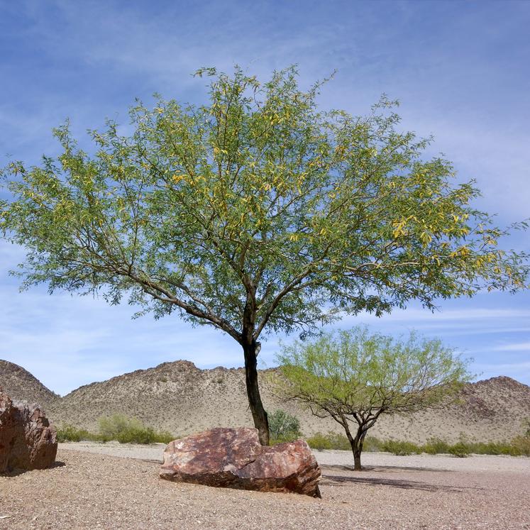 anza borrego mesquite tree